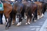 Bereden politie zoekt nieuwe KWPN paarden